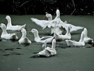 обои Лебединое болото фото