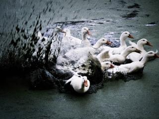 обои Лебеди в грязи фото