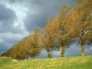 обои Голландские осенние тополя в поле фото