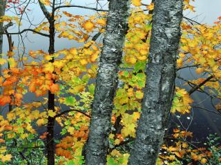 обои Maple and Birch Trees Above Stony Brook Pond,   New York фото