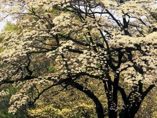 обои Цветущий кизил весной фото