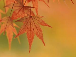 обои Осенние листья клена фото