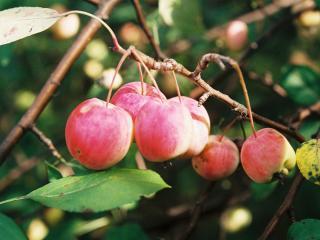 обои Плоды китайки фото