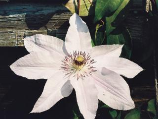 обои Цветок Клематиса фото