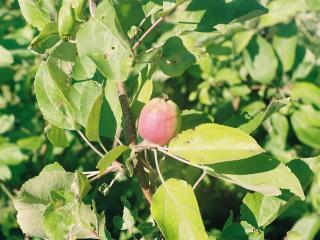обои Небольшое яблочко фото