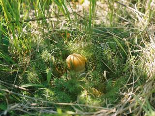 обои Подосиновик в траве фото