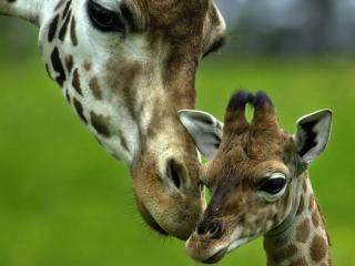 обои Жираф и ее малыш фото