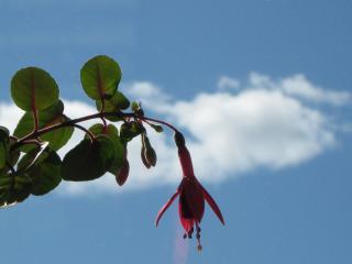 обои Красный цветок на фоне облака фото