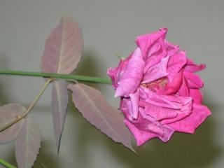 обои Дикая роза фото