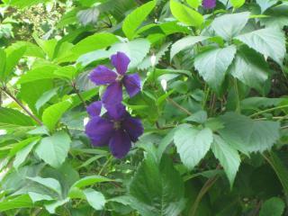 обои Синий цветок фото