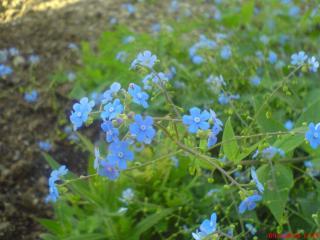 обои Незабудки,   милые цветы фото