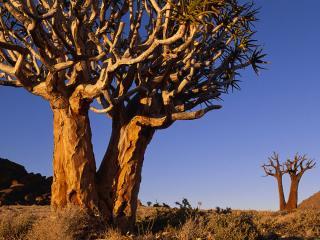 обои Сухое ветвистое дерево, в пустыне фото