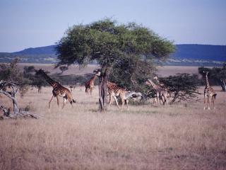 обои Жирафы на обеде фото