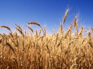 обои Колоски пшеницы фото