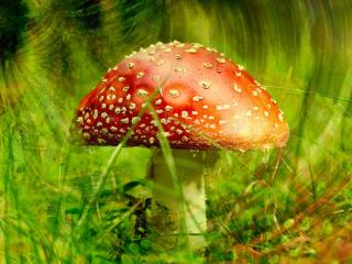 обои Mushrooms Fly-agaric фото