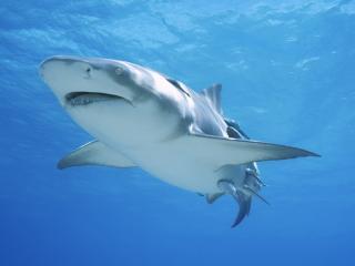 обои Грозный хищник акула фото