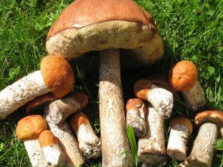 обои Съедобные грибы фото