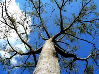 обои Возвышающееся  весеннее дерево фото