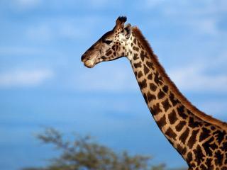 обои Очень длинная шея у жирафа фото