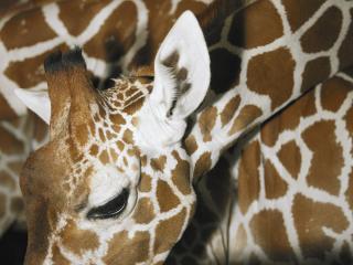 обои Пятнистый жираф фото