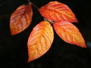 обои Оранжевые листья фото