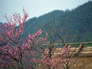 обои Цветущее весеннее дерево, в горах фото