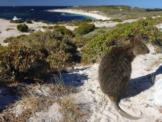 обои Quokka,   Rottnest Island,   Australia фото