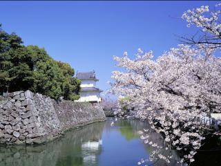 обои для рабочего стола: Весенняя цветущая сакура у пруда