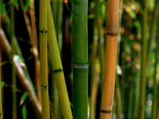 обои Зелёный бамбук фото