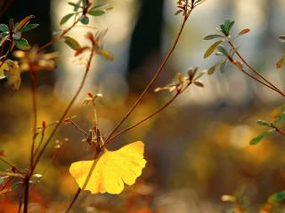 обои Листья клевера фото