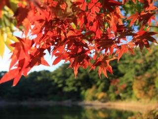 обои Красная листва фото