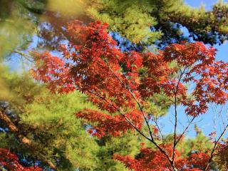 обои Красно - зелёная листва фото