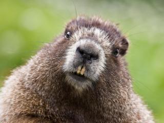 обои Marmot,   Cascade Mountains,   Washington фото