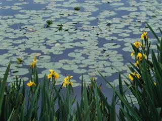 обои Цветущий летний пруд с кувшинками фото