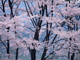 обои Вершины цветущей весной сакуры фото