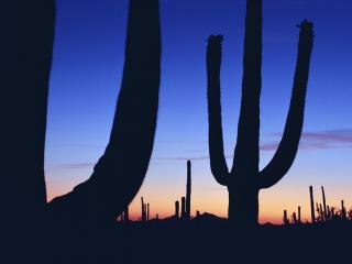 обои Кактусы на закате солнца фото