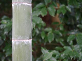 обои Большой бамбук фото
