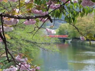 обои Городской пруд весной, под цветущей веткой дерева фото