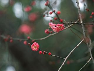 обои Красные цветы на ветке фото