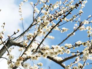 обои Ветви белой сакуры фото