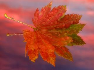 обои Осенний кленовый лист фото