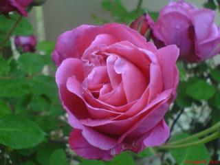 обои Нежнейший розовый цветок фото