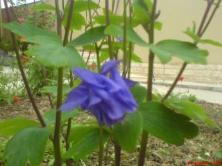обои Неприметный голубой цветок фото