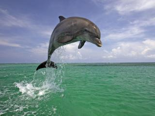 обои Leaping Bottlenose Dolphin фото