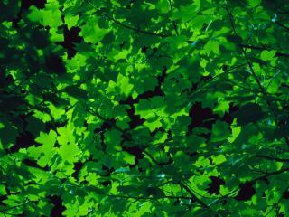 обои Темно - зелёные листья на дереве фото