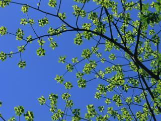 обои Листья весеннего дерева, на фоне неба фото