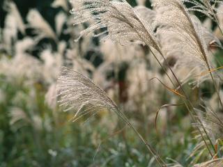 обои Трава ковыль фото