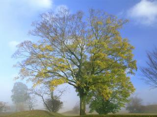 обои Большое осеннее дерево в маленьком тумане фото
