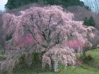 обои Розовая цветущая сакура, весной фото
