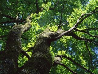обои Большое зелёное летнее дерево фото
